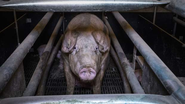 Peste porcine en Chine : des cochons enterrés vivants?